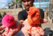 Warna-Warni Anak Ayam Watudakon
