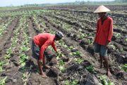Mayoritas Petani Tembakau Gagal Panen, Kecamatan Kabuh Paling Banyak