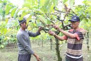 Petani Kopi di Wonosalam Jombang Semringah Jelang Panen Raya Kopi