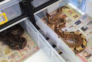 Perawatan ball python Mudah, Mampu Usir Stres