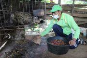 Populasi Luwak di Wonosalam Jombang Menurun