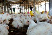 Perusahaan Minta Peternak Menunda Panen Ayam
