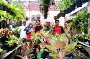 Mengenal Perkumpulan Aglaonema Sambalado di Kediri