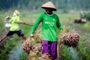 Harga Bawang Merah Turun karena Petani Panen Raya