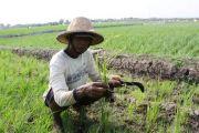 Puluhan Hektare Padi Diserang Tikus