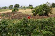 Irigasi Mengering, Petani Tanam Kacang Hijau