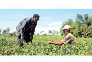 Antisipasi Kemarau, Petani Organik Tanam Kacang Ijo