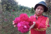 Budi Daya Bunga Mawar di Desa Ngliman, Sawahan Jadi Tumpuan