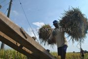 Harga Gabah Kering Turun, Petani Nganjuk Waswas