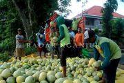 Produktivitas Melon di Nganjuk Anjlok, Ternyata Ini Sebabnya