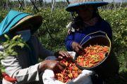 Pemkab Kediri Gandeng Kementerian Pertanian Beli Cabai Petani