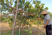 Jadi Produk Unggulan, Pemdes BagengKembangkan Agrowisata Jeruk Pamelo