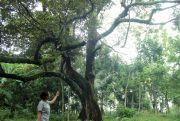 DKPP Jepara Lestarikan Varietas Durian Lokal Unggul