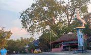 Percantik Wajah Kota, Lingkar Pentungan-Soklin Ditanami 4.000 Tabebuya
