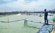 Budi Daya Ikan Sistem Bioflok Tak Merata