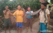 Sanca Peneror Warga Ditangkap, Sudah Habiskan Belasan Ternak
