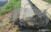Cara Efektif Kendalikan Populasi Tikus Perusak Tanaman Padi