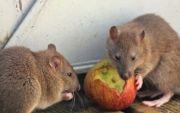 Diserbu Hama Tikus, Petani di Boyolali Malas Tanam Padi