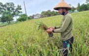 Tahun Ini, Pemprov Jateng Alokasikan Asuransi Padi di 29 Kabupaten