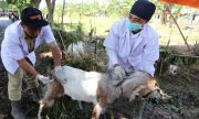 Penjualan Hewan Kurban, Cegah Stress Agar Kualitas Daging Tak Turun