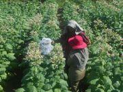 Pemprov Optimistis Produksi Tembakau Jatim Meningkat