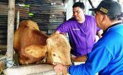 Dampak Banjir di Tanggulangin, Ayam Peternak Mati Kelapara