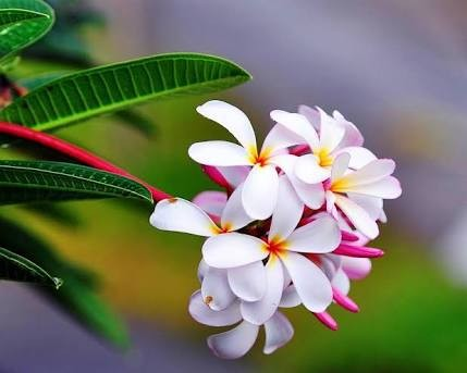 Jepun Flora Usadha Berkhasiat Multiguna Ini Khasiatnya