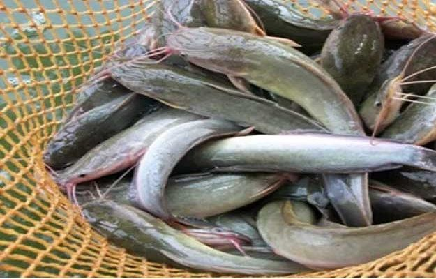 Pasar Ikan Lele Di Klungkung Potensial Sayang Pembudidaya Masih Minim