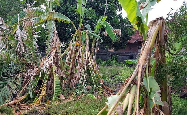 Diserang Hama Petani Pisang Klungkung Gagal Penuhi Kebutuhan Galungan