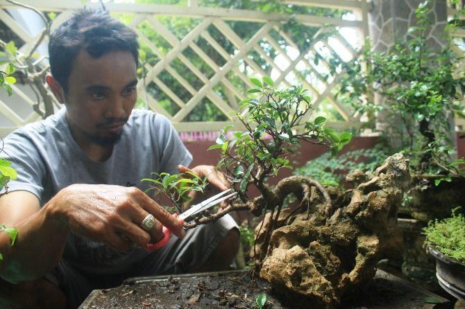 Ikwanto Salah Satu Pembudidaya Tanaman Bonsai Yang Masih Bertahan
