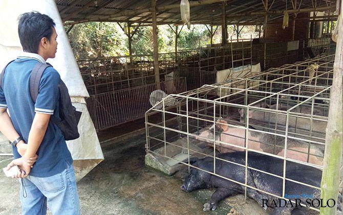 Warga Keluhkan Bau Menyengat Kandang Babi